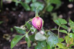 Pink rose bud with dew royalty free stock image