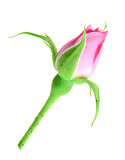 Pink rose bud on a green stalk Stock Images