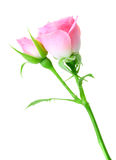 Pink rose and bud on a green stalk. Isolated on white background. Close-up. Studio photography Stock Images
