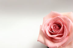 Pink Rose Bud. Isolated on a white background Stock Images
