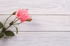 Pink rose with a bud on the wooden boards Royalty Free Stock Images