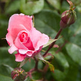 Pink rose with buds Royalty Free Stock Images