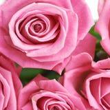 Pink rose buds close-up shot Stock Image