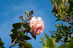 Pink rose and buds with copy space Royalty Free Stock Photography