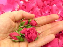 Pink rose buds in an open hand Royalty Free Stock Image