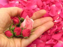 Pink rose buds in an open hand Stock Photo
