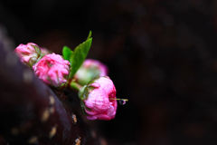 Pink Rose Buds. With a raindrop hanging from its stigma Stock Image