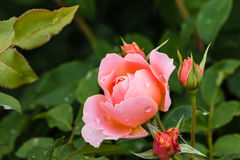 Pink rose and buds with raindrops Royalty Free Stock Images