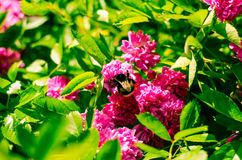 Pink rose and bumble-bee Royalty Free Stock Photo