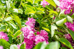 Pink rose and bumble-bee Royalty Free Stock Image