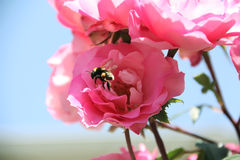 Pink rose,bumblebee, beautiful nature. Pink rose and cute bumblebee, blue sky Stock Images
