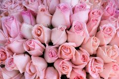 Pink rose bunch Royalty Free Stock Image