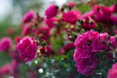 Pink Rose Bush Royalty Free Stock Images