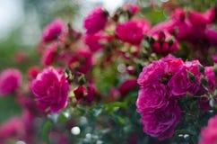 Pink Rose Bush Royaltyfria Bilder