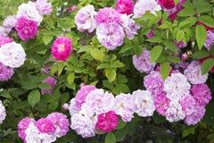 Pink rose bush Royalty Free Stock Photography