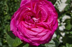 Pink rose bush in bloom at natural outdoor garden Royalty Free Stock Photography