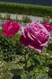 Pink rose bush in bloom at natural outdoor garden Royalty Free Stock Photos