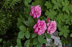Pink rose bush in bloom at natural outdoor garden Royalty Free Stock Photo