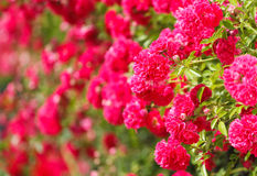 Pink rose bush Royalty Free Stock Photo