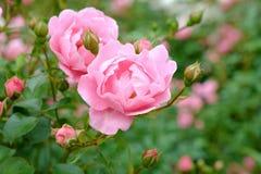 Pink rose bush Royalty Free Stock Image