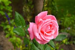 Pink rose on bush. Close up of pink rose with green leaves on bush in garden Royalty Free Stock Photo