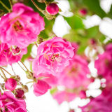 Pink rose bush Royalty Free Stock Photo