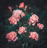 Pink rose bush in the garden Royalty Free Stock Photography