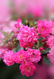 Pink rose bush with gradient background Royalty Free Stock Photos