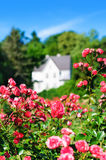 Pink rose bush on house background. Pink rose bush on a house background stock image