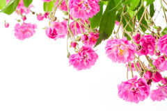 Pink rose bush Royalty Free Stock Images