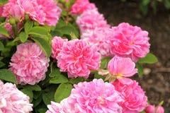 Pink rose bush Royalty Free Stock Photos
