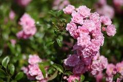 Pink rose bush. Romantic pink rose bush in garden Stock Image