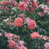 Pink rose bushes close up in the garden Royalty Free Stock Image