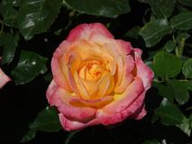 Pink Rose at Butchart Garden. Pink roses are a symbol of grace and elegance. This image was taken at Butchart Garden in Victoria, BC. Canada. This garden is a royalty free stock image
