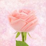 Pink rose card Stock Photography