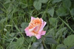 Rose. Carved green leaves set off the flower.Dazzling beautiful light pink flower royalty free stock images