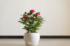 Pink rose on a ceramic pot in room. Pink rose in a ceramic pot in the room royalty free stock images