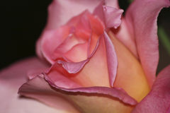 Pink Rose Royalty Free Stock Photography
