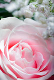 Pink Rose, Close Up Stock Photo