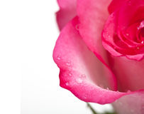 Pink rose close-up Stock Images