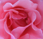 Pink rose close-up Royalty Free Stock Photo