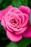 Pink rose close-up Stock Photo