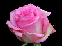 A pink Rose. Close up of a pink Rose Royalty Free Stock Photo