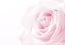 Pink rose close up as wedding background. Soft focus. Stock Photo