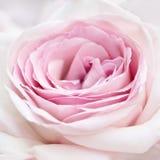 Pink rose close-up Stock Photo