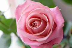 Pink rose close up Royalty Free Stock Photography