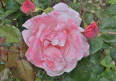 Pink rose  5. A close up of the flower pink rose with raindrops on petals Stock Photography