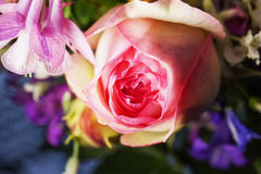 Pink rose in close up Royalty Free Stock Photos