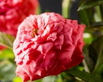 Pink rose in close up Royalty Free Stock Photo