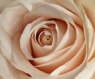 Pink rose close-up royalty free stock photography